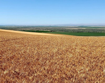 Cascade Organic Farms Experiencing High Yields & Exceptional Quality in its New 2021 Crop of Organic Hard Red Wheat