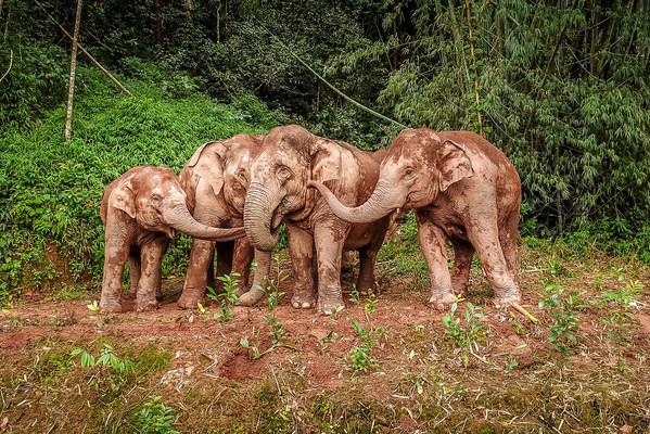 Los elefantes asiáticos se convierten en los invitados especiales de la COP15 de Kunming