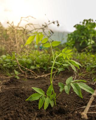 Flor de Caña se compromete a sembrar más de un millón de árboles para 2025