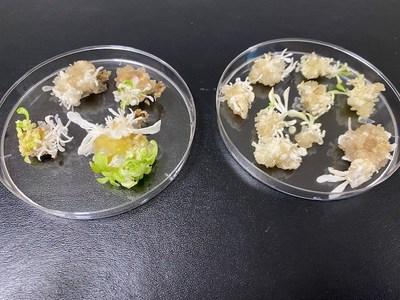 Demeetra AgBio puede producir productos de tabaco con reducción de daños mediante edición genética